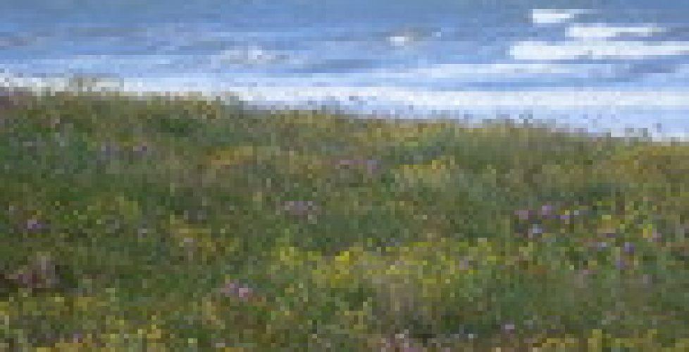immortelles_dunes